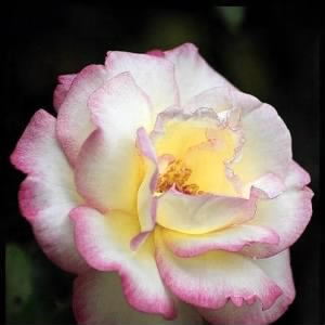 White Rose with Pink Edges.jpg